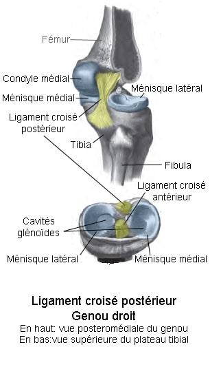 Blessure genou - Ligament croisé - laboratoire du skieur