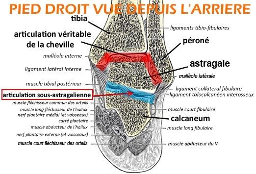 ariculation-sous-astragalienne-ski-labo-du-skieur